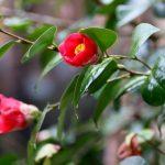 五島発のツバキ発酵茶 透析患者の心血管疾患予防効果に期待