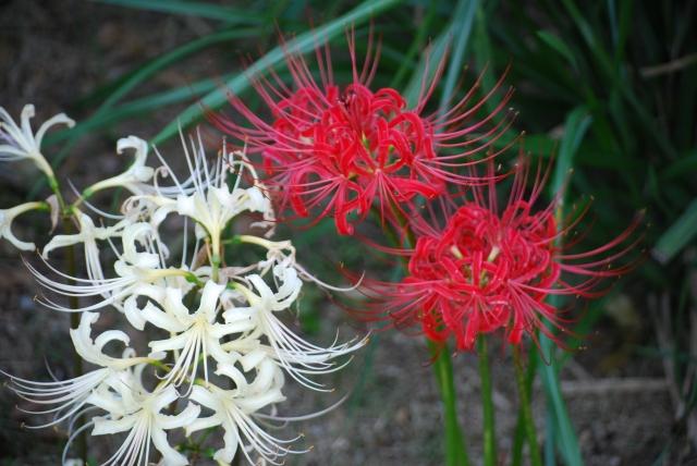 赤と白の彼岸花