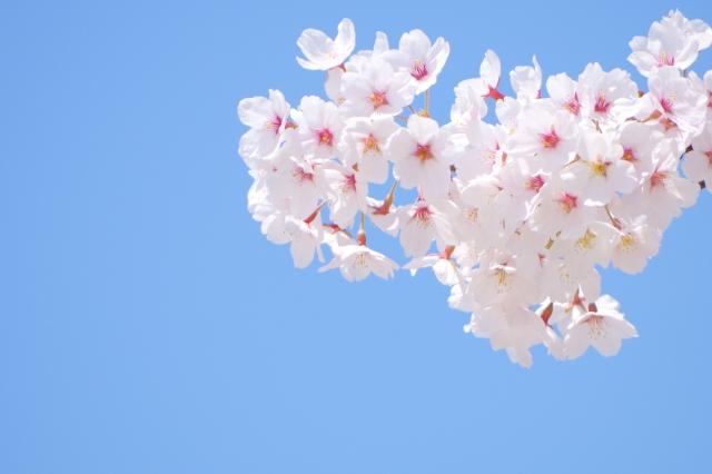 満開の桜の花と空