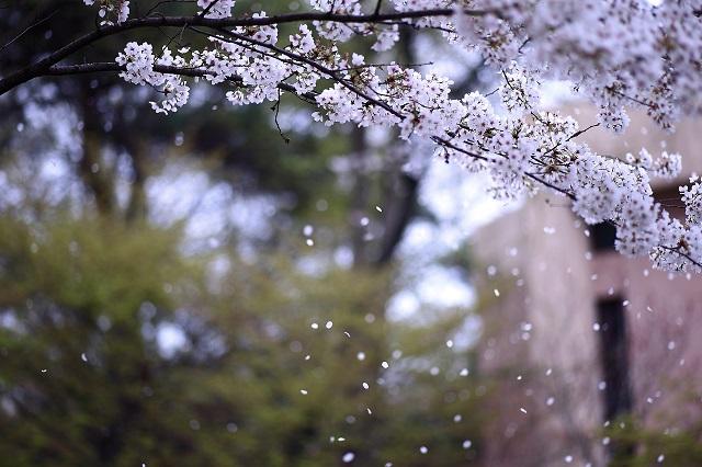 桜吹雪の風景