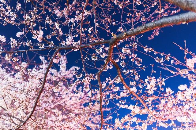 ライトアップされた夜桜