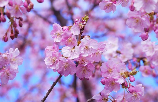 満開の桜の花