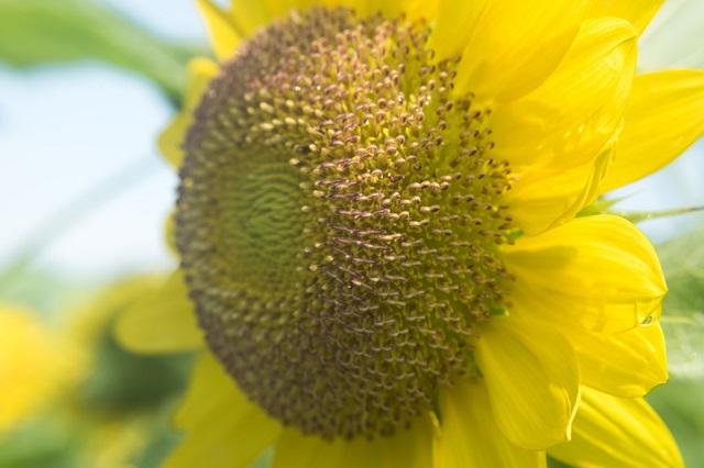 大きなヒマワリの花