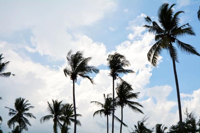 スマトラ島のヤシの木