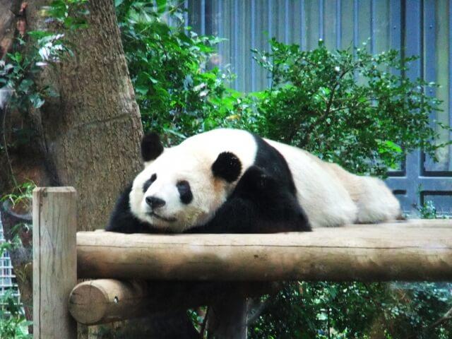 寝っ転がっているパンダ