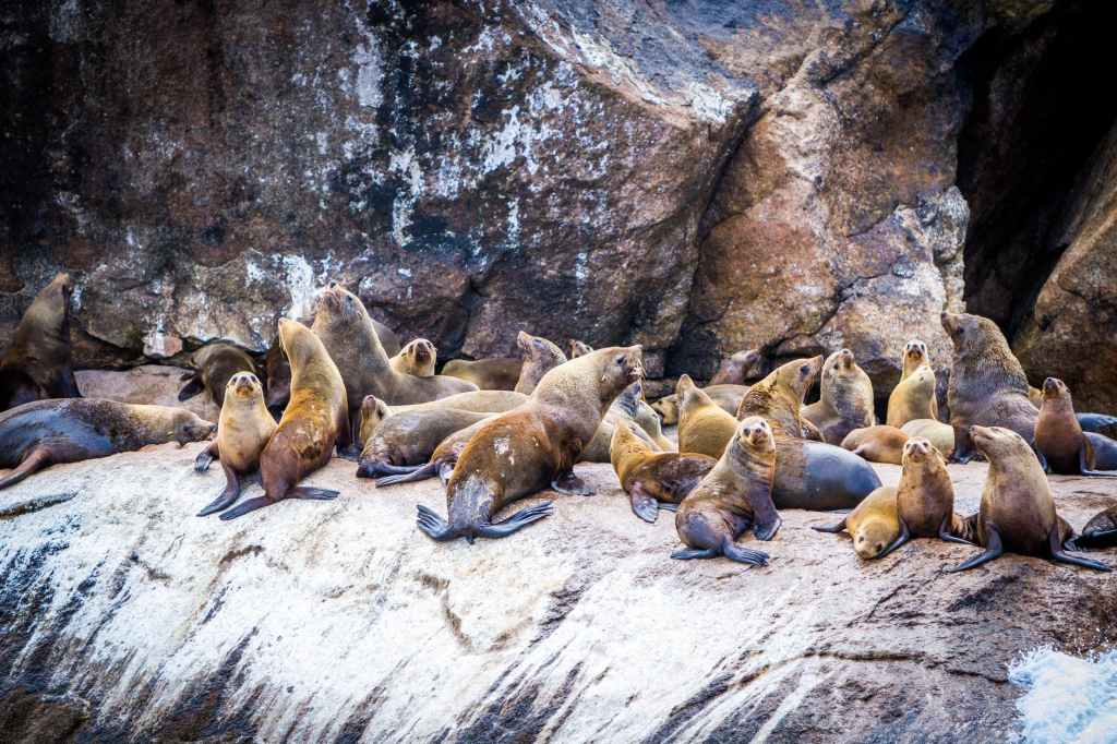 group of sea lion