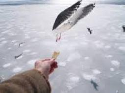 """""""An albatross eats from the hand of a sailor."""""""