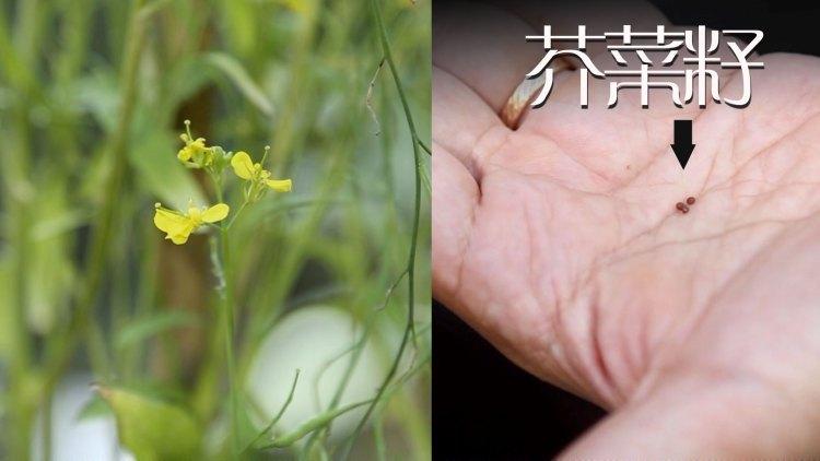 1468-mustardplant.jpg