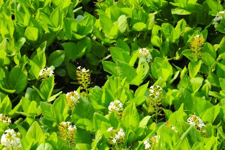 東山魁夷の心を掴んだミツガシワの花