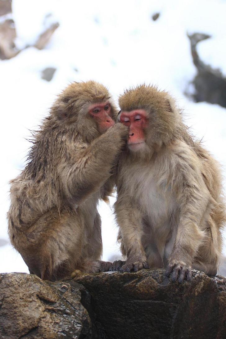 地獄谷野猿公苑(Snow Monkey)
