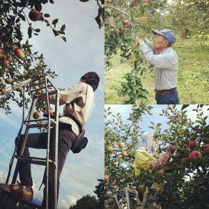 作業風景 りんご 長野 マルサ果樹園