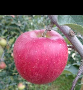 シナノスイート|りんご|減農薬|通販