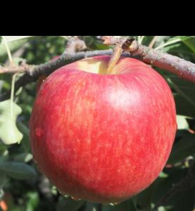 シナノドルチェ りんご 減農薬 通販