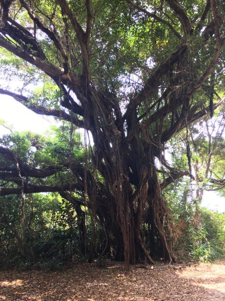 久高島の神秘的な大木