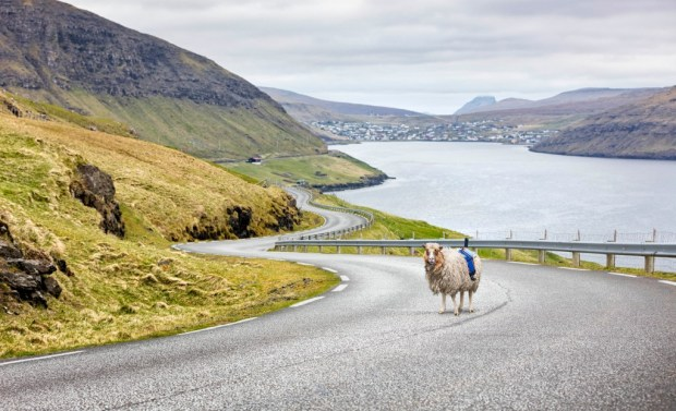 A Faroe Mapping Sheep by Durita Dahl Andreassen