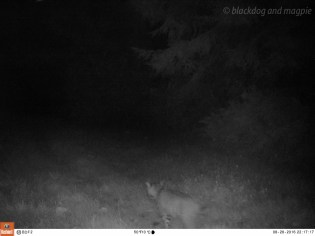 Bobcat Going the Other Way