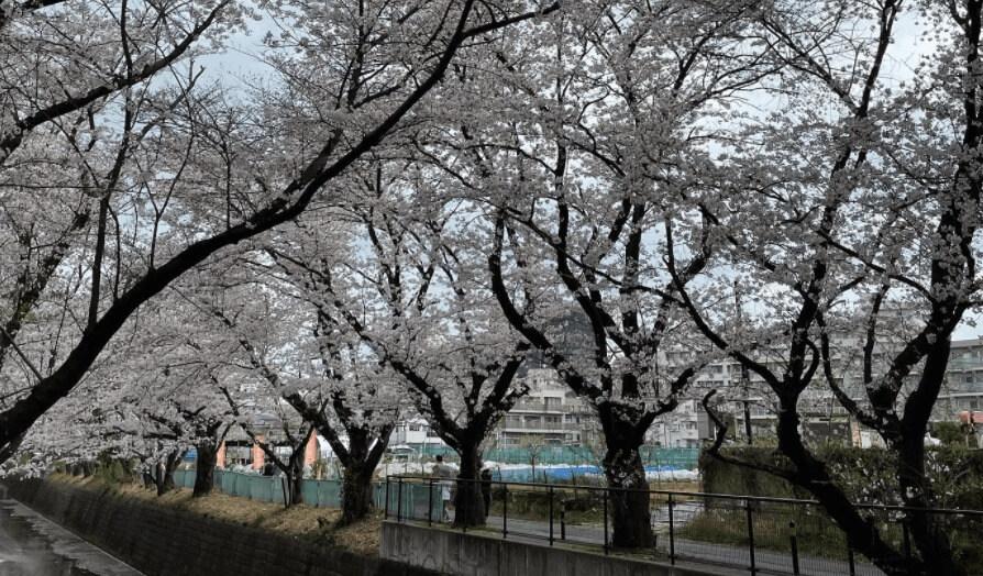 麻生川桜並木