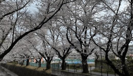 【2021年】新百合ヶ丘駅から柿生駅をつなぐ麻生川沿いの散歩コースの桜並木の様子を花見の代わりに画像と動画で紹介