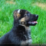 German Shepherd Puppies Gigi Kolt Pups 8 Weeks Shiphra Shepherds