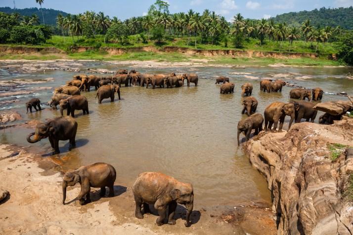 elephants-of-pinnawela