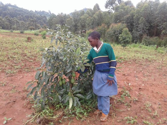 Avocado farm at Ikalo primary school