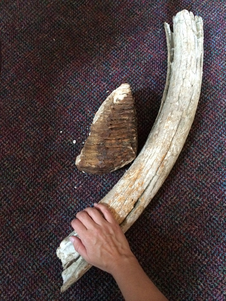 Ronnie brought these up from the basement, and they fell apart as we looked at them. Another mastodon tooth and a tusk.