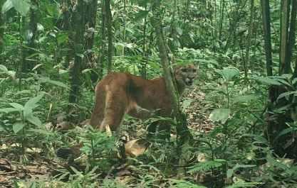 Shiripuno Lodge - The Yasuni Biosphere Reserve is home pumas, jaguars, ocelotes, jaguarundy impressive density.