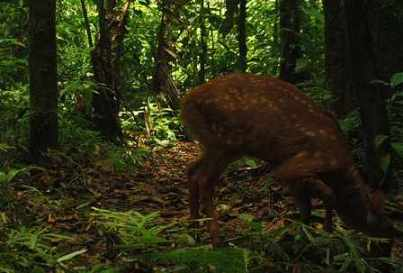 Red Brocket Deer ~ Shiripuno Lodge ~ Amazon Rainforest Mammals