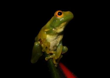 Amazon Tree Frog. Yasuni Biosphere Reserve in Ecuador.