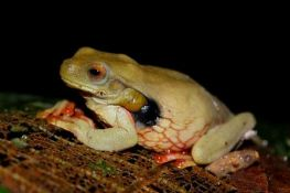 Trachycepahlus Tree Frog ~ Shiripuno Lodge ~ Amazon Herping Week