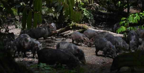 The forest clay clicks is a special location for several species of forest creatures such as tapir, bats, deers, peccaries, tapirs, macaws , pigeon guans and others.