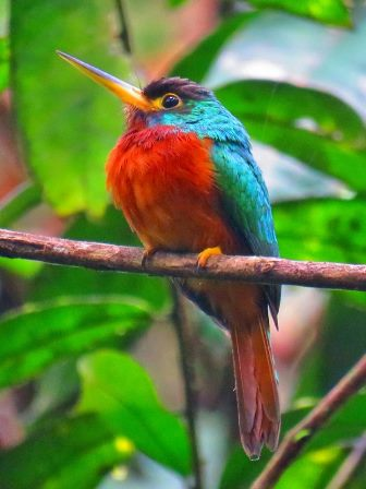 Shiripuno Lodge ~ Yellow-billed Jacamar located in the southern bank of the Napo River.