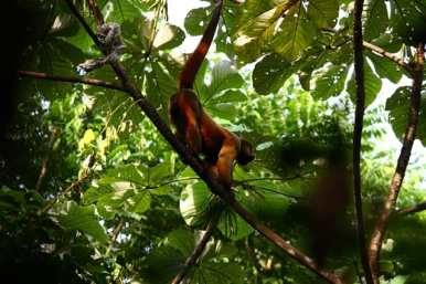 Shiripuno Lodge - Frugivores very important in the forest, they play a dispesing seed for many trees, liana, epifitas and other plants use Common Woolly Monkey.