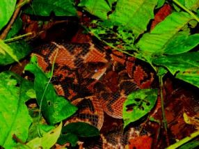 Bushmaster molting: notice the whitish eye. Yasuni Biosphere Reserve. Photo by our guide Daniel Hicks