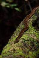 Fer-de-lance resting along the trunk we used for crossing. Yasuni Biosphere Reserve.
