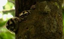 Noisy Night Monkey. Yasuni Biosphere Reserve in Ecuador