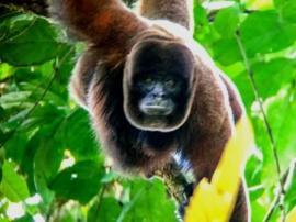 Humboldt's Woolly Monkey. Yasuni Biosphere Reserve in Ecuador