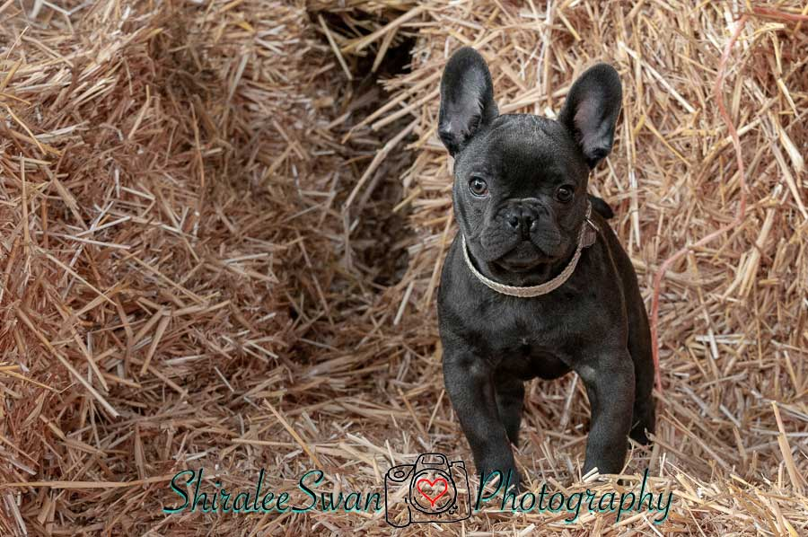 French Bulldog puppy photoshoot by Shiralee