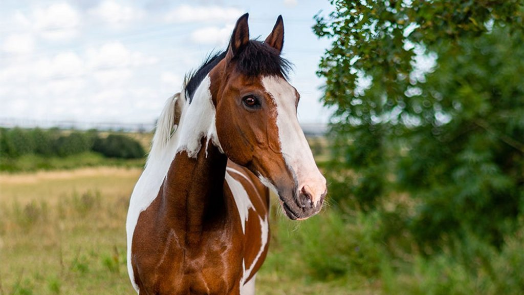 Horse-portrait-landscape-Shiralee-Swan-2