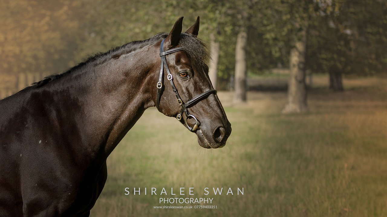 Black horse in Windsor Great Park with a soft background