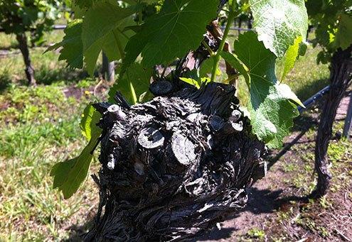 Wine Tasting Barossa Valley Shiraz