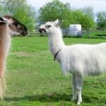 動物とふれあいできる札幌近郊のえこりん村でアルパカと夏休み!