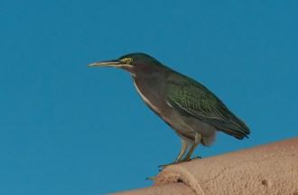 Green Heron BIRDS