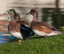 Ventana Wigeons SW and BIRDS
