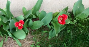 Triumphant tulips after a hard winter.