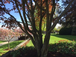 The tree outside the chapel building. Spring, 2015