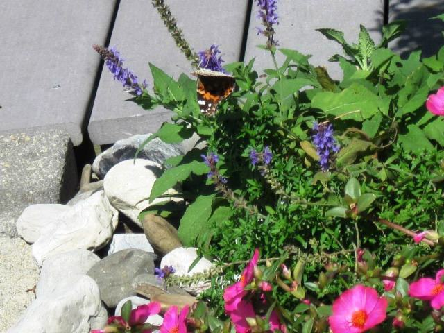 Butterfly, Cape May Point, NJ