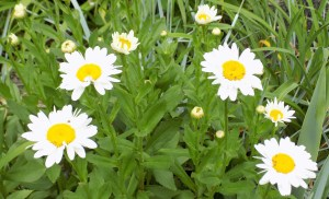 Photo Friday – Daisies to Brighten Your Day