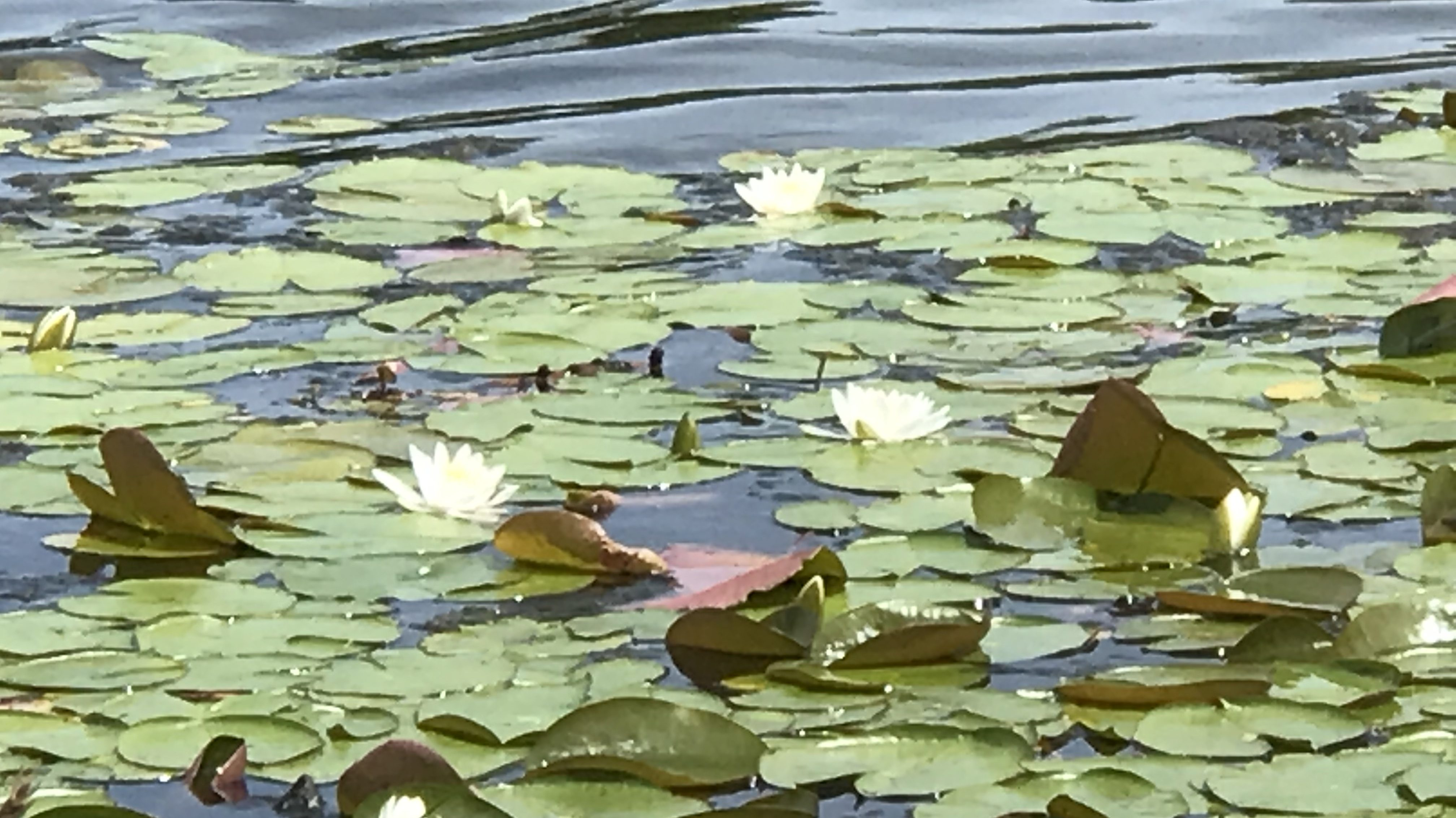 Photo Friday-Lake Lily
