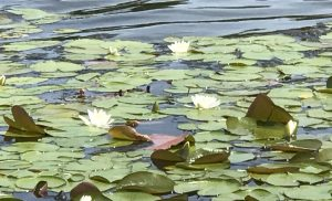 Photo Friday-Lake Lily
